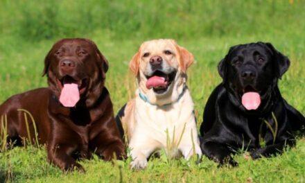 Labrador Retriever vuelve a ser elegida como la raza más popular