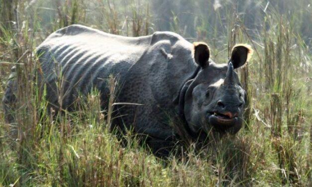 Aumenta la población de rinocerontes en Nepal