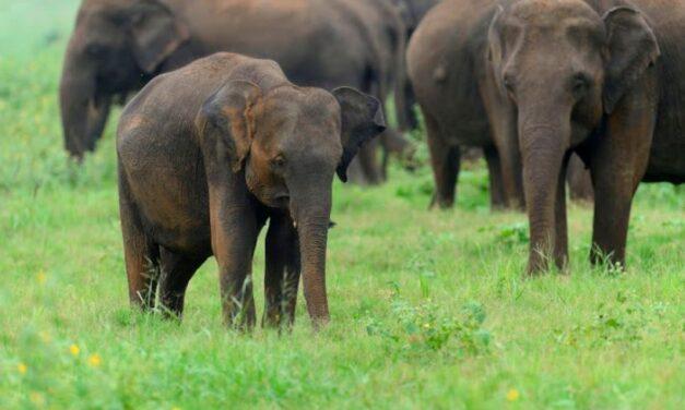 Cazador furtivo muere aplastado por una manada de elefantes en Sudáfrica