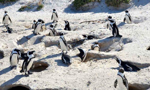 Enjambre de abejas mata a 63 pingüinos en peligro de extinción en Sudáfrica